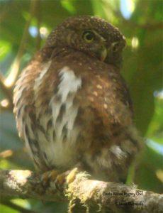 164Costa Rican Pygmy Owl 3