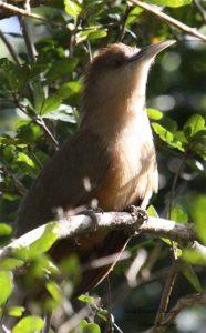 23Great lizard-Cuckoo