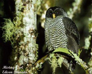 51Mistery Owl