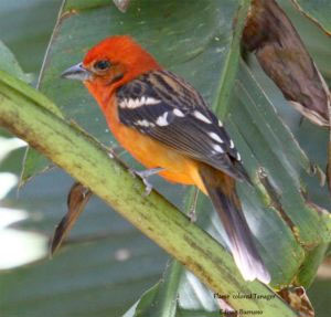 Flame-colored-tanager