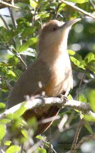 Great-lizard-Cuckoo