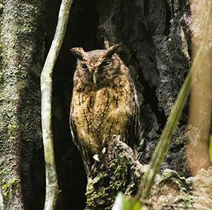 Tawny-bellied-Screech_owl