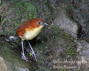 Yellow breasted Antpitta