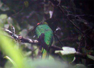 tp_pavonine_quetzal
