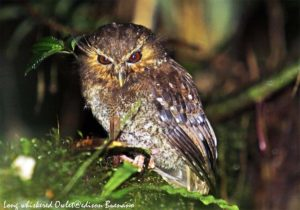 LONg whislered owlet