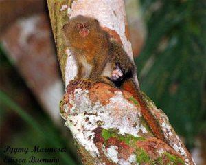 Pygmy masmoset