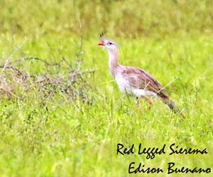 argentina-red-legged